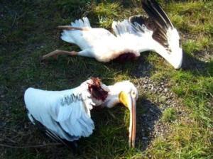 Foto: Homepage Bild  (Pelikan, der Vogel zerteilt vom Windrad am 28.10.2011)