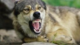 ein-wolf-fletscht-die-zaehne